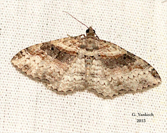 Bent-Line Carpet, Costaconvexa centrostrigaria