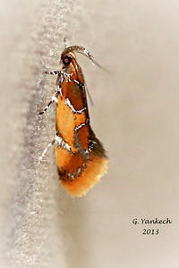 Orange-Headed Epicallima, Epicallima argenticinctella