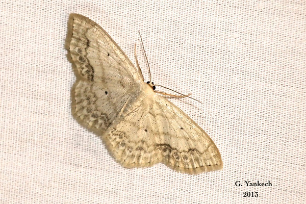 Large Lace-Border, Scopula limboundata