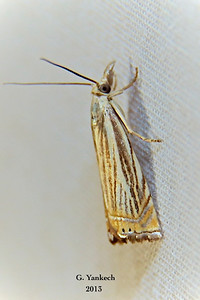 Topiary Grass-veener, Chrysoteuchia topiarius