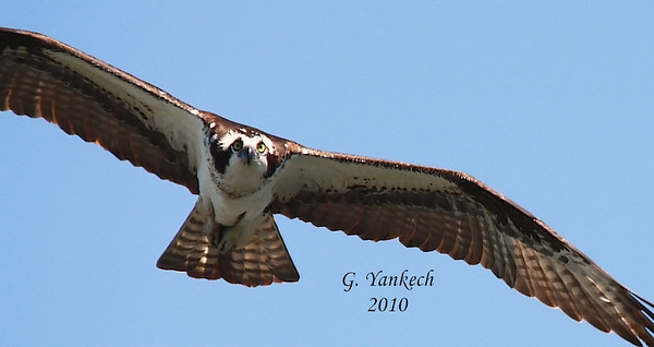 Osprey, Pandion haliaetus  While fishing up in Hastings, Ontario this Osprey kept returning to the nearby nest platform to check on its chicks. On one swoop in, I managed to get this head-on shot. It was so close, I was not able to get its full wingspan in the frame. Nevertheless, a great shot of this beautiful bird.
