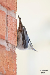White-breasted Nuthatch, Sitta carolinesis  Finally, after a few years of waiting, a Nuthatch arrived and checked out my feeders, though it was more interested in scaling the bricks of the house. It even posed, for at least ten minutes,  for this shot.
