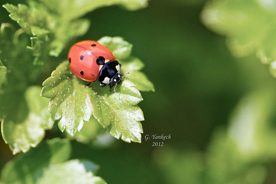 Seven Spotted Ladybug, Coccinella septempunctata  Rosetta Garden, Scarborough, Ontario  Introduced to North America from Europe as a pest control agent to control aphid populations