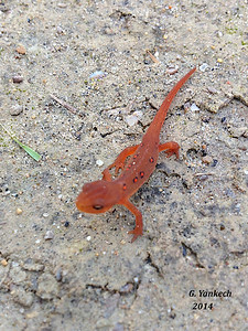 Eastern Newt, (Red Eft)