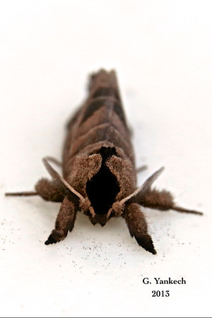 Sigmoid Prominent Moth, Clostera albosigma –  Fitch, 1856  (930003 – 7895)