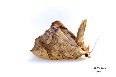 Greater Grapevine Looper Moth, Eulithis gracilineata  – Guenée, [1858]  (211025 – 7197)