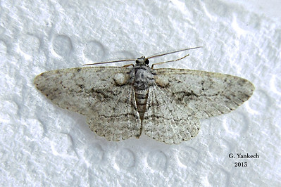 Common Gray Moth, Anavitrinella pampinaria –  – Guenée, [1858]  (194925 – 6590)
