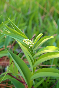 Star-flowered Solomon's Seal, Maianthemum stellatum
