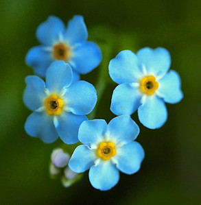 """forget me not"", species undetermined"