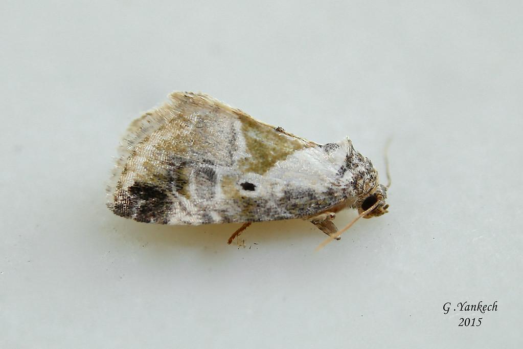 Black-dotted (Lithacodia) Gylph, Maliattha synochitis –Grote & Robinson [1868]  (931295 – 9049)